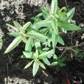 Lúcia lima - Aloysia triphylla